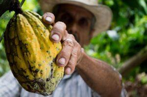 właściwości kakao kakaowiec